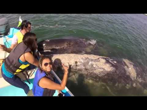 Ballena Gris - La Paz BCS - Gray Whale - Ballenas En México