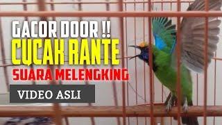 Video Cucak Ranting Gacor - Suara Melengking download MP3, 3GP, MP4, WEBM, AVI, FLV Maret 2018