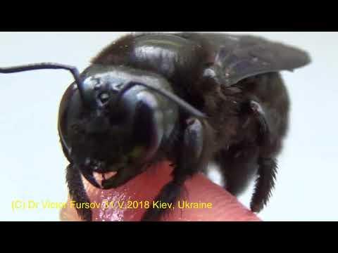 Злой Монстр или Добрая Пчела Плотник? Кто Это?