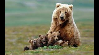 Животный мир. След медведя. Район Костромы. Медвежата сироты. Опыт медведицы. Грань дружбы
