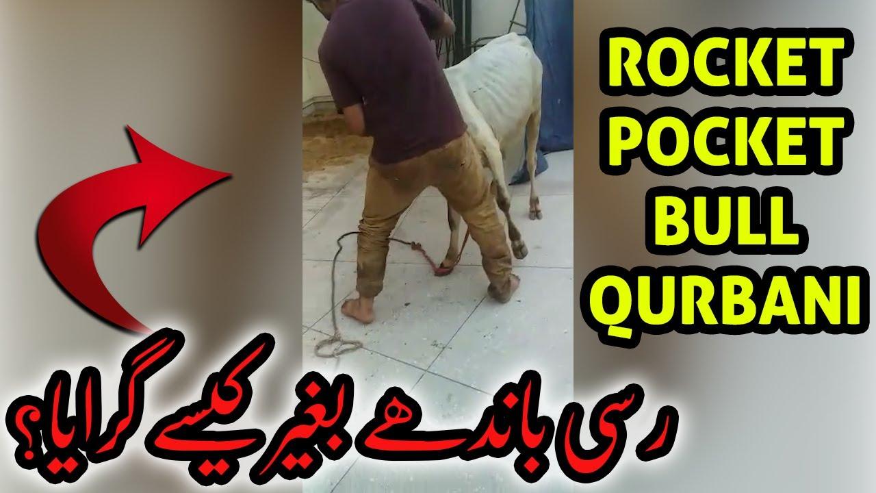 Rassi Bandhe Bagher - Hassan Ka Rocket Pocket Mini Sibbi Bull Qurbani | Bakra Eid 2020 | Eid ul Adha