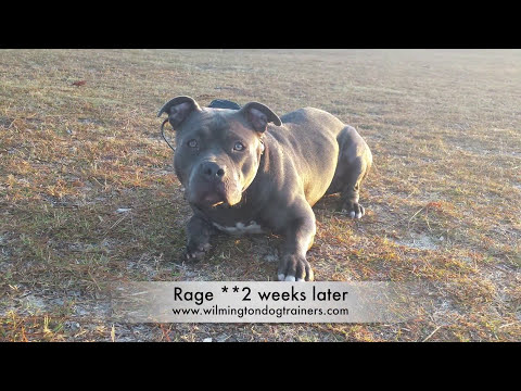 Pit Bull 12 month old~Before and After 2 week board and train: Wilmington Dog Trainers