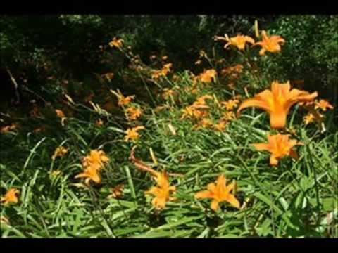 About Your Tiger Lilies