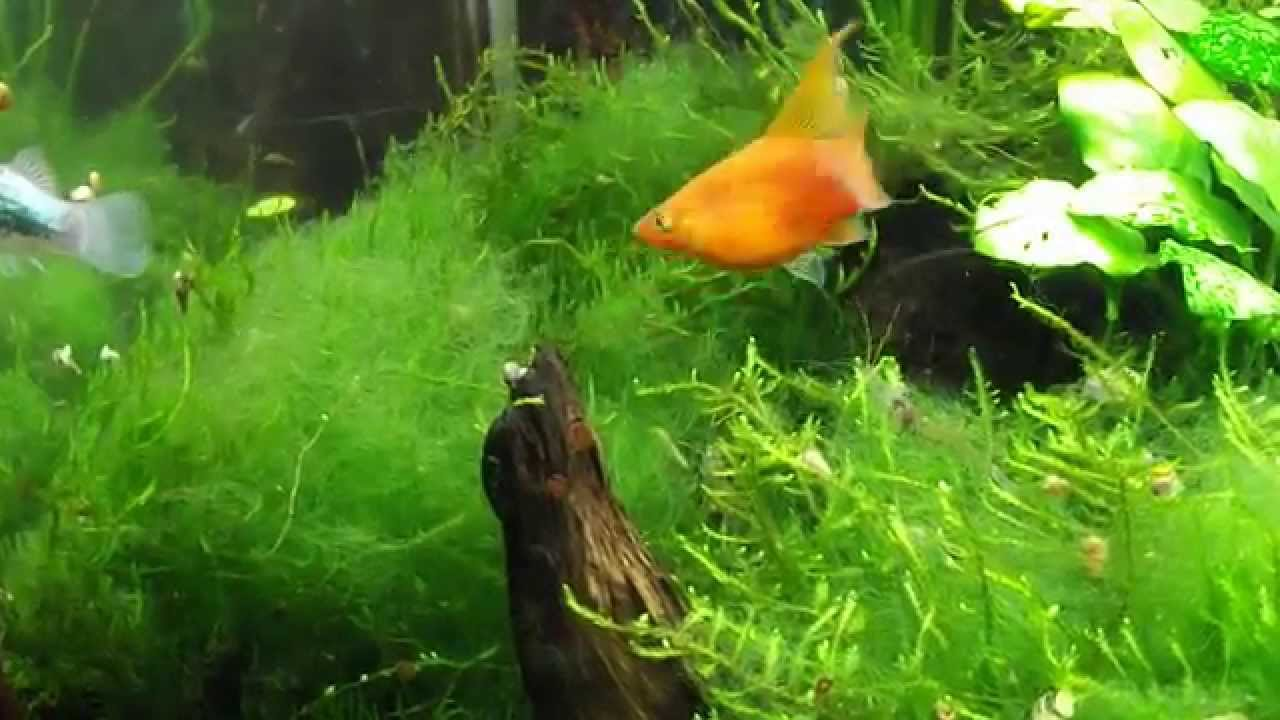 Platy fish eating hair algae youtube for Algae eating fish