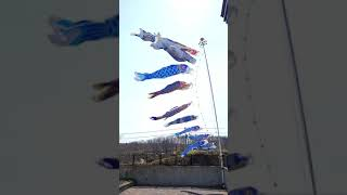 北海道から青い鯉のぼり