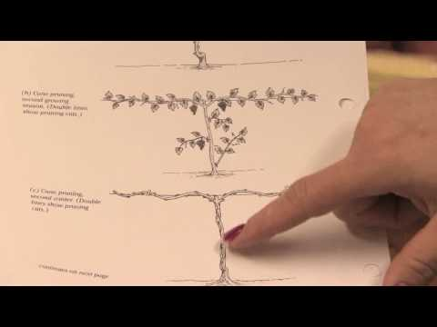 Gardening: Pruning : How to Prune Grape Vines in the 1st Year