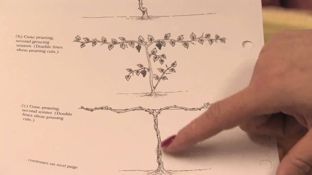 Gardening pruning how to prune grape vines in the 1st year youtube - How to prune and train the grapevine ...