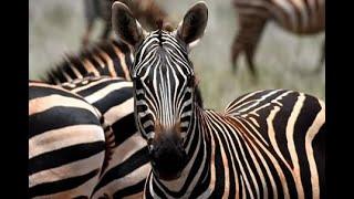 Czerwone zebry - Tsavo East National Park - Kenia - Afryka