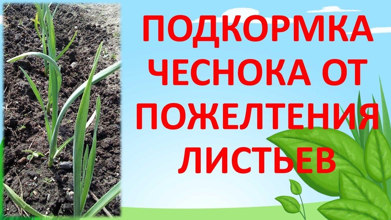 ПОДКОРМКА ЧЕСНОКА ОТ ПОЖЕЛТЕНИЯ ЛИСТЬЕВ. Как выращивать крупный чеснок. Удобрение для чеснока весной