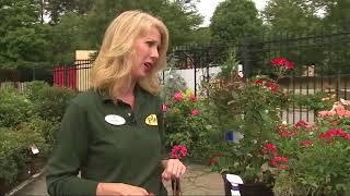 Caring for roses with Pike Nursereis