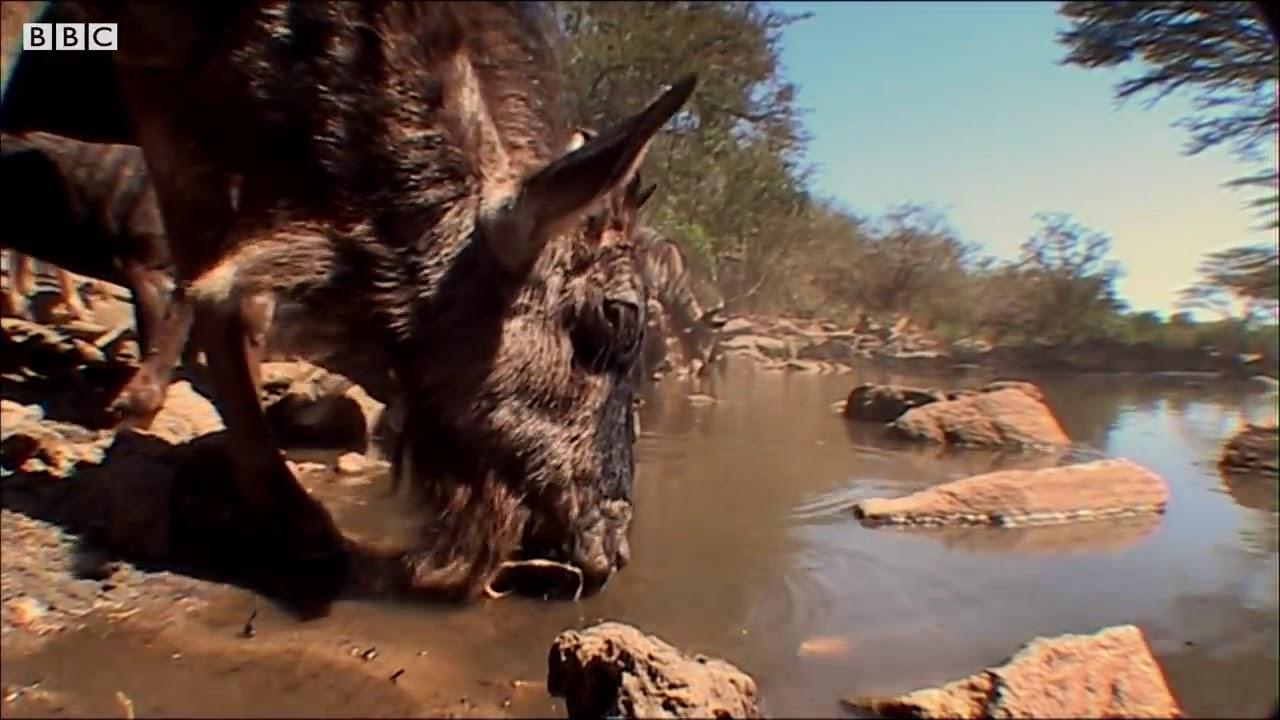 Crocodile Surprise Attacks Wildebeest Bbc Earth Youtube