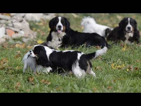 Dogs playing outdoors - Pappilon, Cavalier King Charles Spaniels and Bernese Mountain Dog