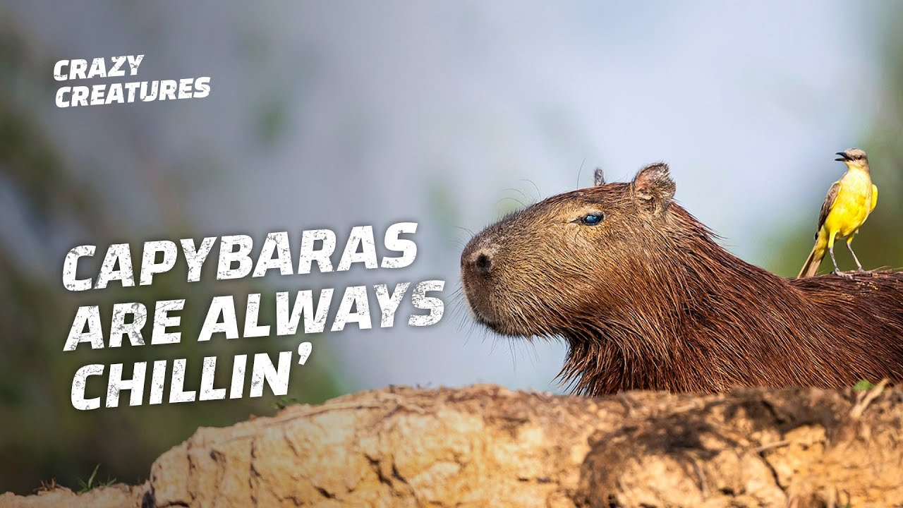 Capybaras, the Largest and 'Chillest' Rodents in the World