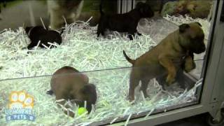 Purebred Staffordshire Bull Terriers Puppies