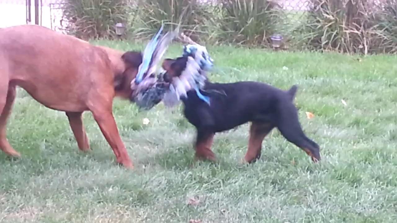 Brutis 12 Months Mastiff Rottweiler Mix Tyson 3 Months Rottweiler