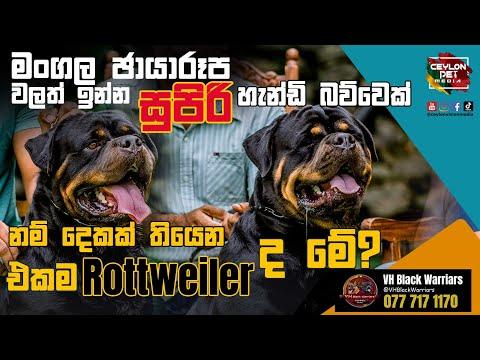 Rottweiler Dog මංගල ඡායාරූප වලත් ඉන්න සුපිරි හැන්ඩි බව්වෙක් VH Black Warriars – Ceylon Pet Media