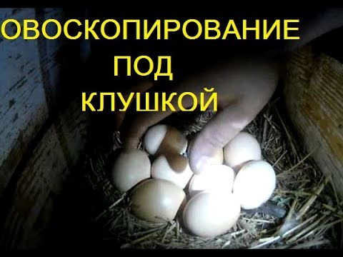 Курица села на яйца весь процесс