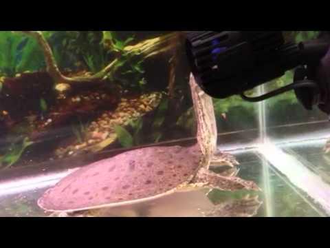Florida soft shell turtle hybrid eating fish