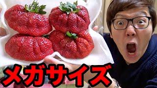 超巨大イチゴ食べてみた!メガサイズ博多あまおう