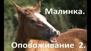 Проверяем, как лошадь Малиновка усвоила первый урок по оповоживанию.