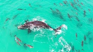 どこまでも青い海に生きる哺乳類たち。大きなクジラとイルカの群れが泳ぐ映像をご覧ください