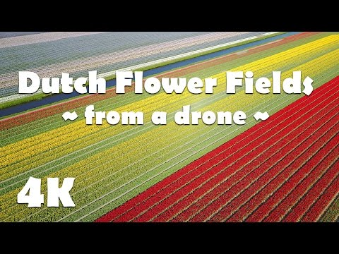 Amazing Colorful Flower Fields in Holland | Dutch Tulip Fields near Keukenhof gardens from a drone