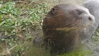 目の前に来てくれたオオカワウソ Giant otter 2018 0219