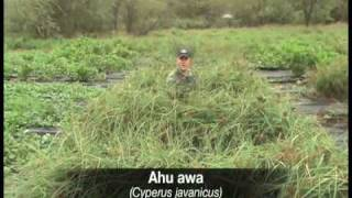 PART 3: Evaluating Native Hawaiian Groundcovers