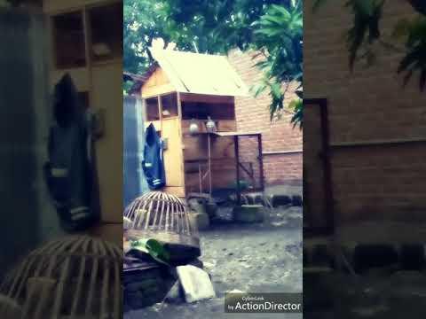 Piyek Merpati Pos belajar masuk pintu trap