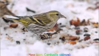 Голоса птиц-Чиж (лат. Carduelis spinus)