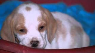 Beagle Welpen In Lehnin