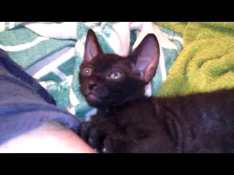 Котенок донской сфинкс браш,1 месяц