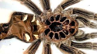 Sexing A Tarantula Molt (Phormictopus Sp. Blue)
