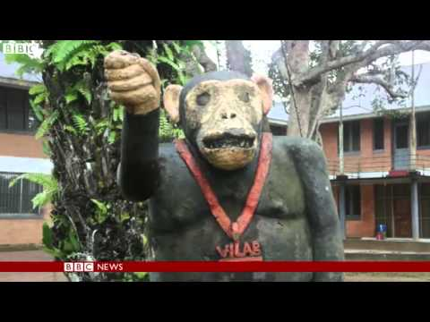 Released medical research chimps at risk in Liberia   BBC News