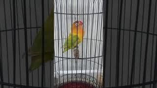 Lovebird isian walang