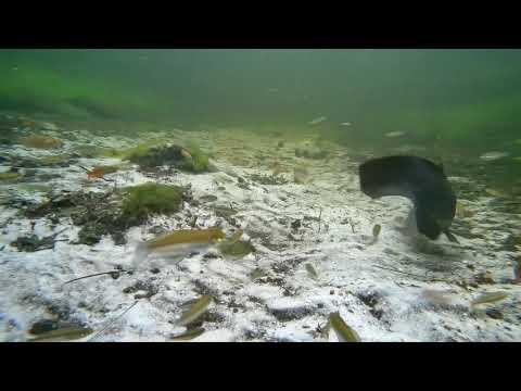Biotope Australia Searys Creek Rainbowfish