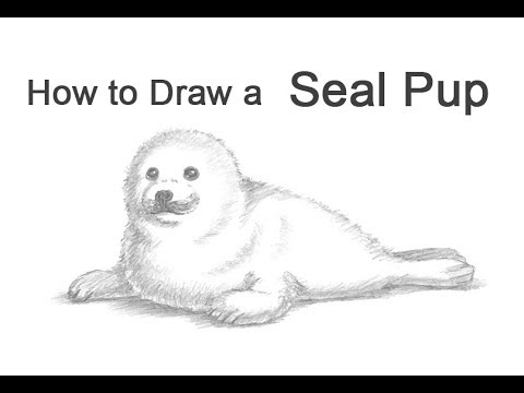 how to draw a seal pup harp seal youtube
