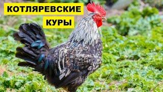 Разведение кур Котляревской породы как бизнес идея | Птицеводство | Котляревские куры