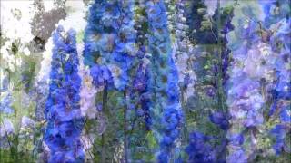 Larkspur Nursery Delphinium Seedlings