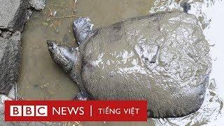 Rùa Hoàn Kiếm 90 tuổi chết ở Trung Quốc - BBC News Tiếng Việt