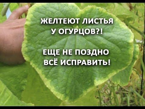 Желтеют листья у огурцов?! Еще не поздно все исправить! Огурцы будут сладки, плотные и красивые.