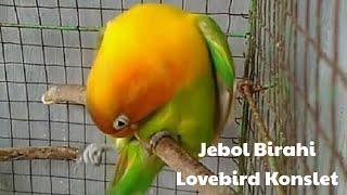 Download lagu Jebol birahi lovebird dengan suara ini
