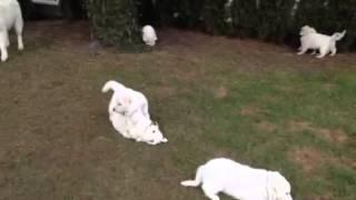 White Swiss Shepherd puppies 1.5months old Arabella & her Siblings.
