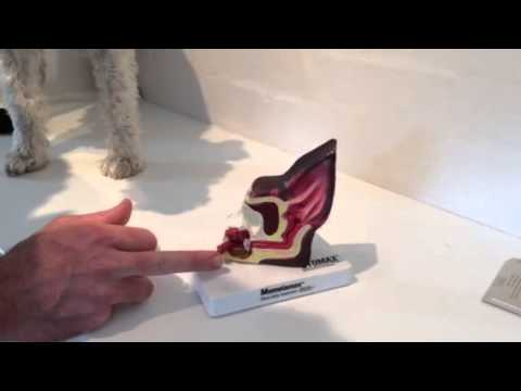 Dog Ear Anatomy And Examination Youtube