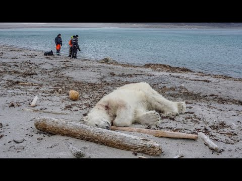 Polar bear killed after attacking cruise ship worker