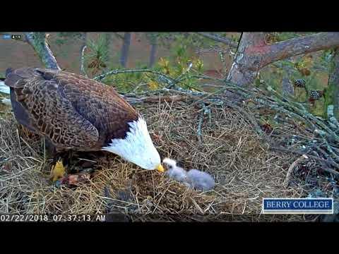Berry College Eagles - Mom brings a fresh,floppy,fish -02-22-18