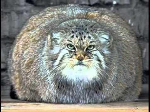 Worlds Biggest Cat 2012 Please Subscribe