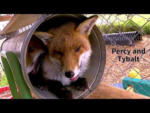 Sydney Fox & Dingo Rescue