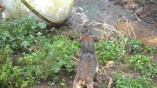 Ratting With Border Terrier