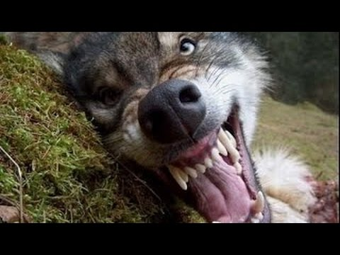 Radioactive Wolf Of Chernobyl Documentary HD Wild Life ...